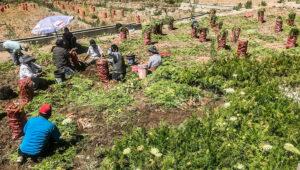 Agricultores de zanahoria en Tarapacá